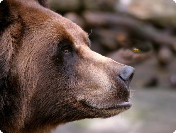 Медведь из зоопарка Буффало пытается отогнать пчелу