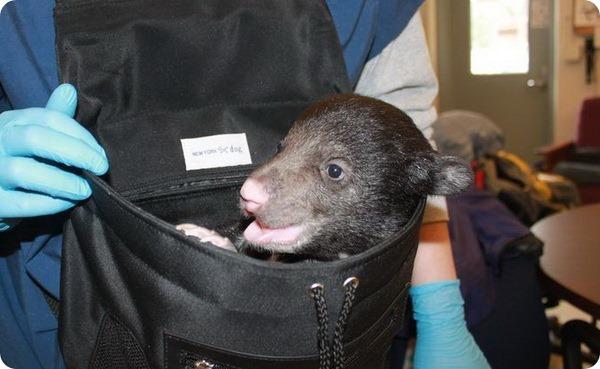 Медвежонок-губач из Национального зоопарка