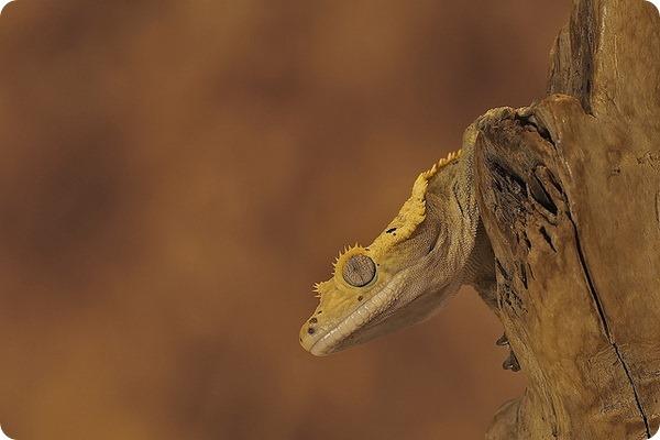 Новокаледонский реснитчатый геккон (лат. Correlophus ciliatus)