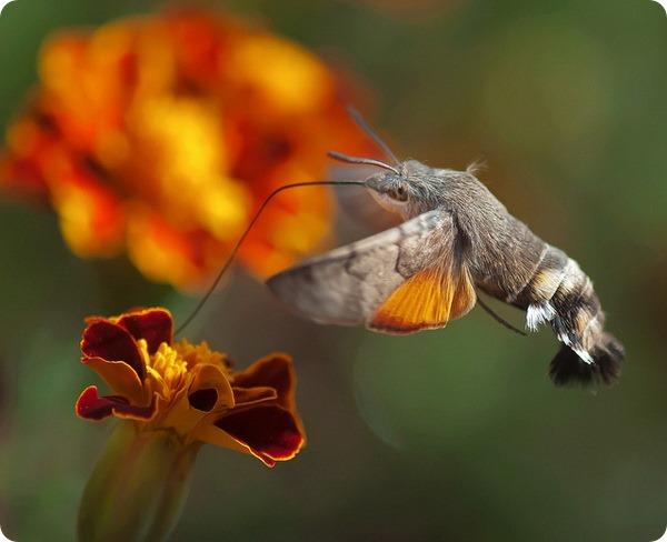 Языкан обыкновенный (лат. Macroglossum stellatarum)