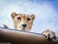 Встреча с гепардом в Национальном парке Серенгети