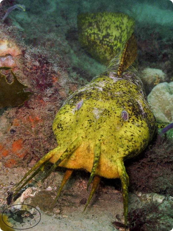Южноавстралийский угрехвостый сом (лат. Cnidoglanis macrocephalus)
