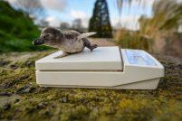В Англии представили новое поколение пингвинят