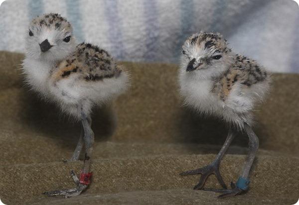 В зоопарке Монтерея подрастают птенцы морского зуйка