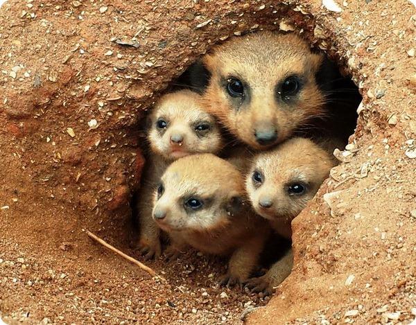 В зоопарке Бревэрда у сурикатов появилось потомств