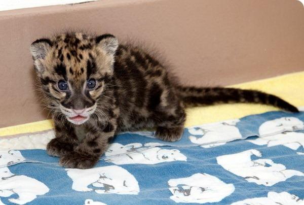 Зоопарк Денвера показал детенышей дымчатого леопарда
