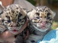 Зоопарк Майами представил детенышей дымчатого леопарда