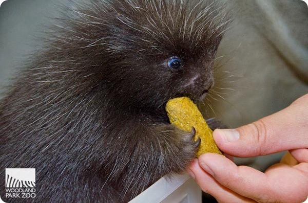 Детеныш поркупина из зоопарка Вудленд-Парк