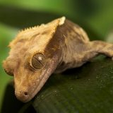 Новокаледонский реснитчатый геккон