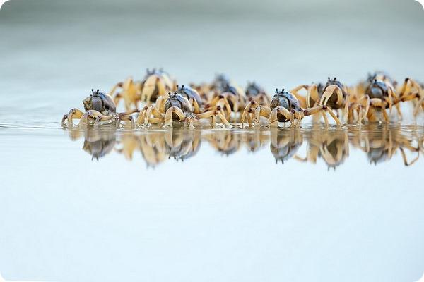 Светло-голубой краб-солдат (лат. Mictyris longicarpus)