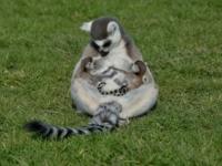 В Великобритании родилась парочка кошачьих лемуров