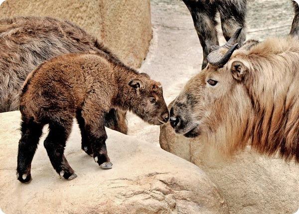 Детеныш сычуаньского такина из зоопарка Лос-Анджелеса