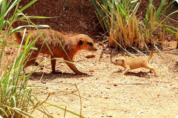 В зоопарке Бревэрда у сурикатов появилось потомство