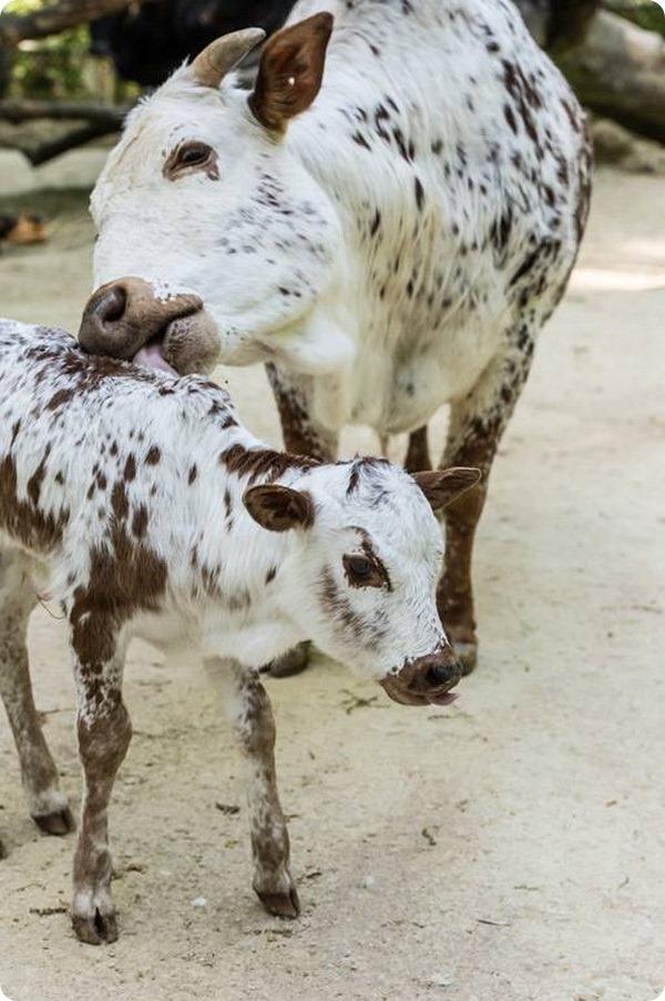 В зоопарке Базеля родился теленок карликового зебу