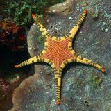 Сдвоенная морская звезда