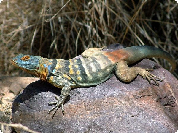 Каменная игуана (лат. Petrosaurus thalassinus)