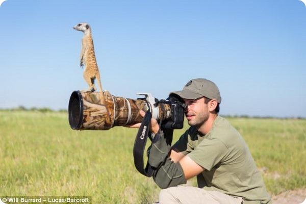 Необычная дружба между фотографом и сурикатми