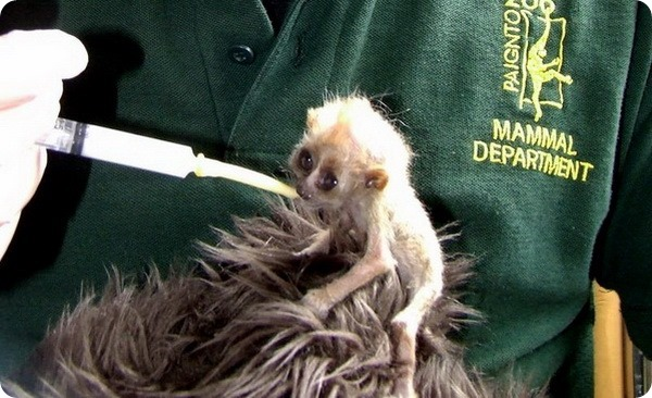 Детеныш малого лори из зоопарка Пейтона