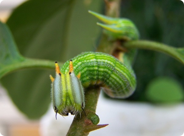 Бабочка-сова Opsiphanes cassiae
