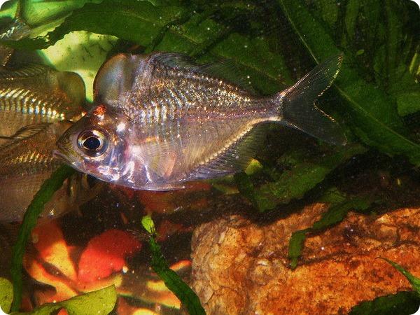 Стеклянный большелобый окунь (лат. Parambassis pulcinella)