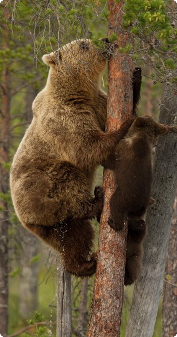 Медведица учит медвежонка взбираться по тонкому дереву