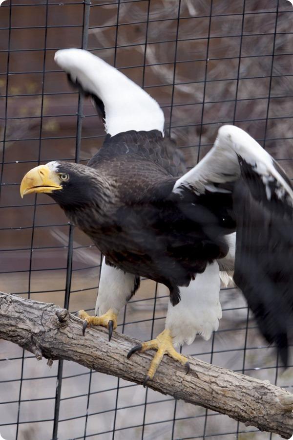 Птенец белоплечего орлана из зоопарка Денвера