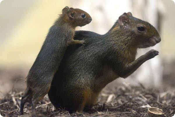 Зоопарк Крефельда представил двух детенышей агути