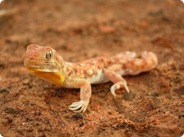 Южноафриканский лающий геккон (лат. Ptenopus garrulus)