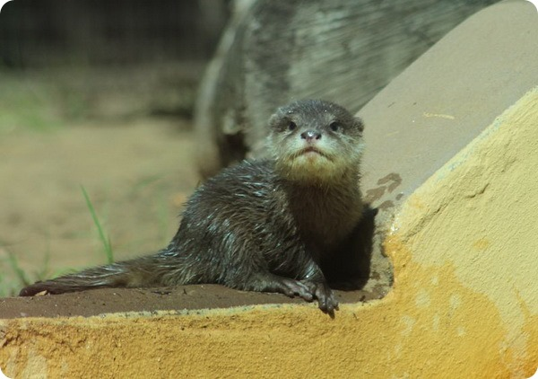 В зоопарке Таронга родились детеныши выдры
