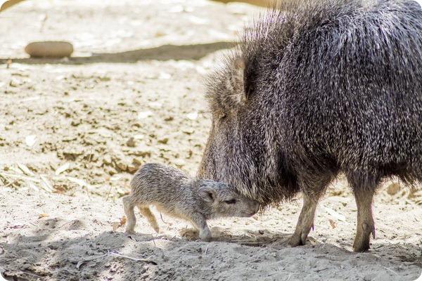 Зоопарк Фресно Чаффи (Fresno Chaffee Zoo) в городе Фресно (Калифорния, США) представил единственного родившегося в этом году детеныша редкого чакского пекари, который появился на свет 28 марта.