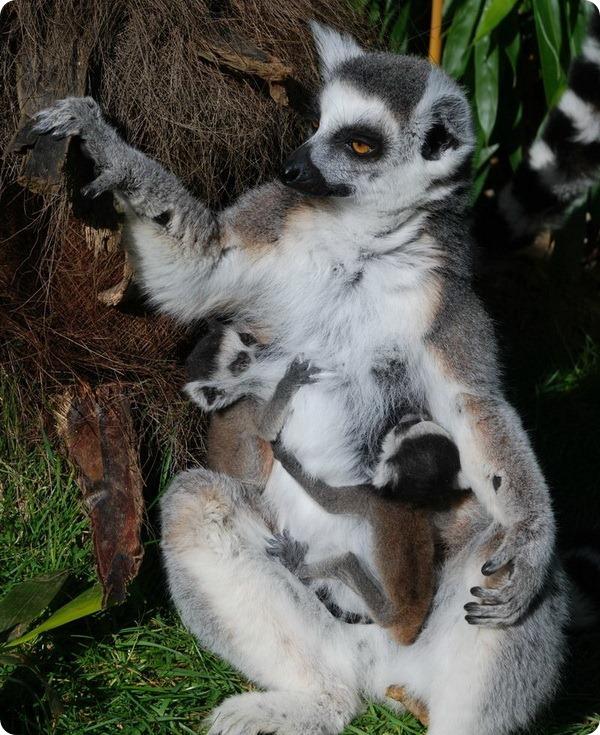 Детеныши кошачьего лемура из сафари-парка Уоберна