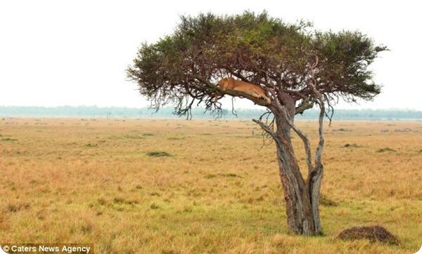 Отдыхающая львица от фотографа Марка Бриджера
