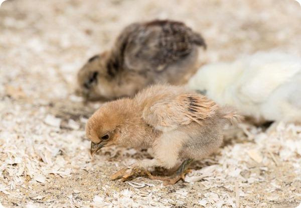 В зоопарке Базеля вылупились цыплята шелковой курицы