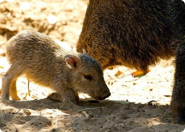 В Зоопарке Фресно Чаффи родился детеныш чакского пекари