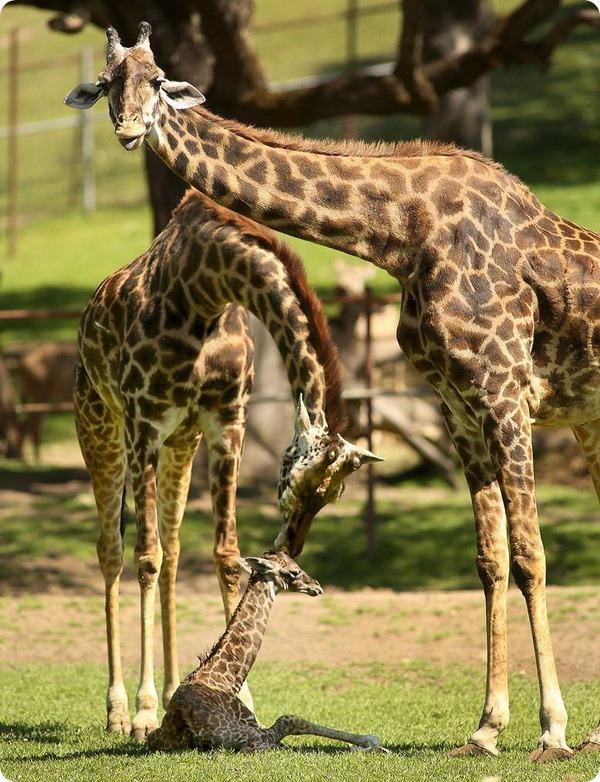 Детеныш масайского жирафа из заповедника Сафари-Запад