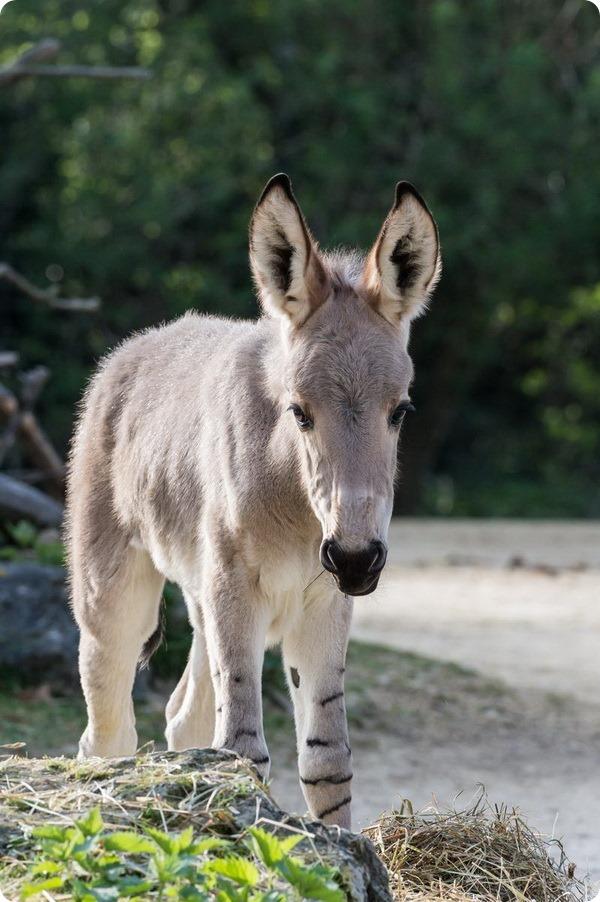 Зоопарк Базеля представил детеныша сомалийского осла