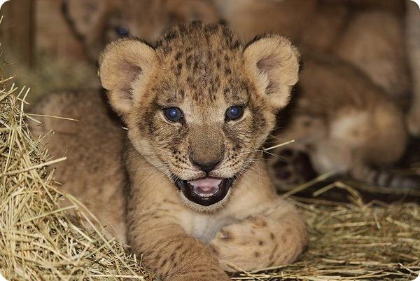 Зоопарк Майами представил сразу четырех львят