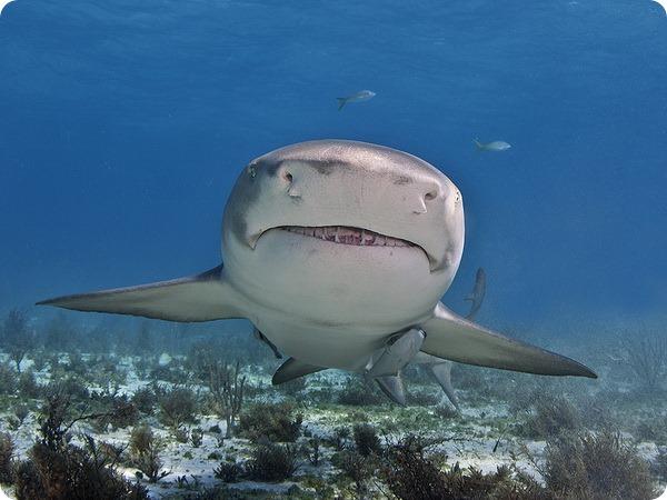 Лимонная акула (лат. Negaprion brevirostris)