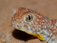 Южноафриканский лающий геккон