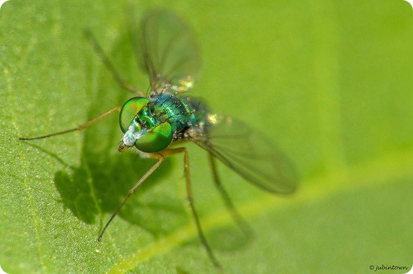 Зеленушка (лат. Dolichopodidae)