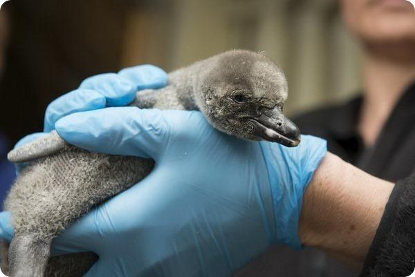 Зоопарк Коламбуса представил птенцов пингвина Гумбольдта