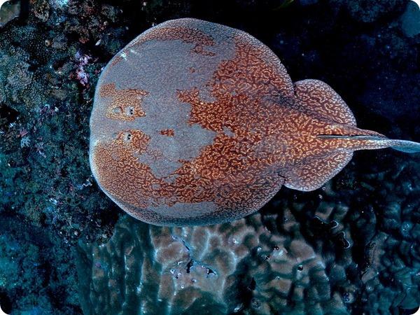Мраморный электрический скат (лат. Torpedo marmorata)