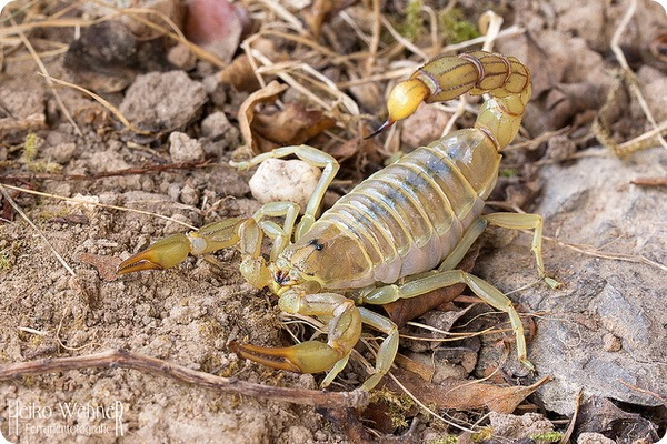 Скорпион Androctonus amoreuxi