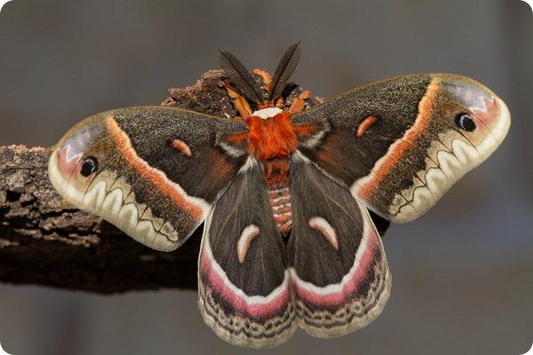 Павлиноглазка цекропия (лат. Hyalophora cecropia)