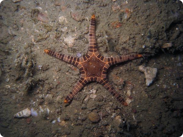 Сдвоенная морская звезда (лат. Iconaster longimanus)