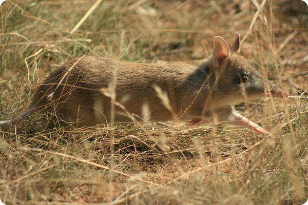 Тасманийский бандикут (лат. Perameles gunnii)