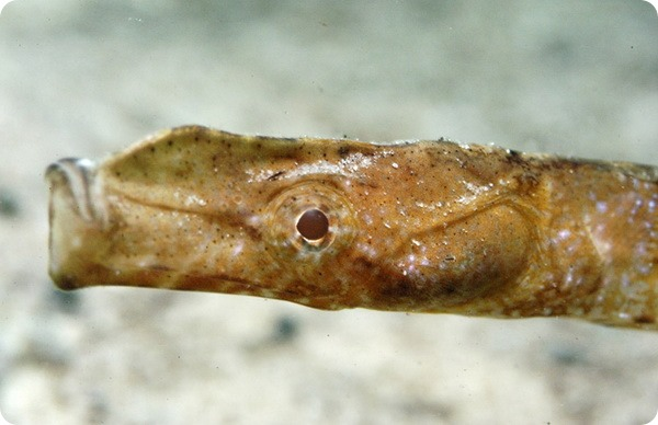 Морская игла-носорог (лат. Histiogamphelus cristatus)