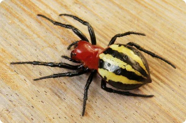 Паук-кругопряд Alpaida quadrilorata