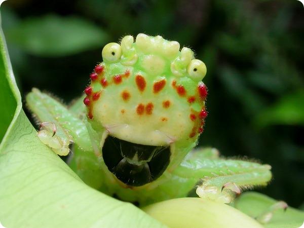 Кузнечик-питбуль (лат. Lirometopum coronatum)