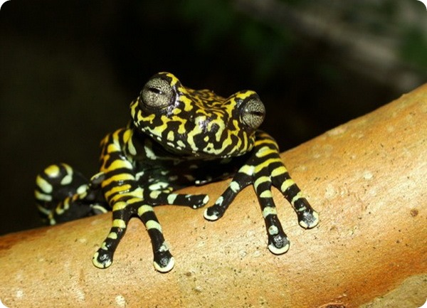 Тигровая древесная лягушка (лат. Hyloscirtus tigrinus)